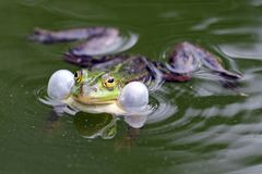 True frog in pond Stock Images