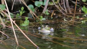 True frog in pond Royalty Free Stock Photo