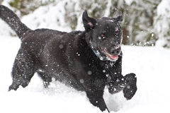 True Happiness. A black lab enjoying a heavy dumping of snow on a hike up in the mountains Royalty Free Stock Image
