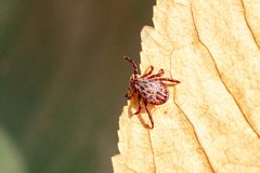 A dangerous parasite and infection carrier mite. A true ixodid mite blood sucking parasite carrying the acarid disease sits on a On a green leaf of grass in the royalty free stock image