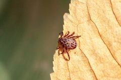 A dangerous parasite and infection carrier mite. A true ixodid mite blood sucking parasite carrying the acarid disease sits on a On a green leaf of grass in the royalty free stock photo