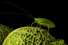 True katydid Stock Photography