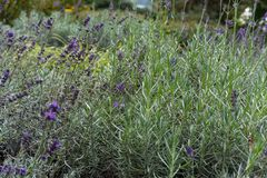 Lavender herb plant lavandula angustifolia lamiaceae from europe in garden. True lavender plant in garden lavandula angustifolia lamiaceae from europe stock photography