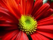 True Love. Red daisy heart Royalty Free Stock Photography