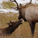 True Love Elk Style. A Bull Elk and Cow Elk Share a Tender Moment During the Rutting Season in Colorado stock photos