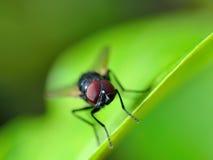 True macro fly portrait Stock Images