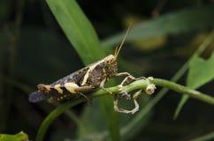 True macro of a grasshopper Stock Photo
