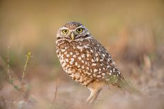 True owl perched on a tree branch Stock Image