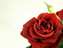 True red rose. Slightly damaged petals. Stock Photo