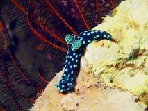 True sea slug Stock Images