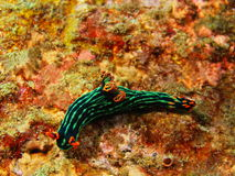 True sea slug Stock Photos
