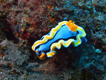 True sea slug. The surprising underwater world of the Bali basin, true sea slug stock photos