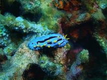 True sea slug Royalty Free Stock Photos