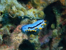 True sea slug Royalty Free Stock Images