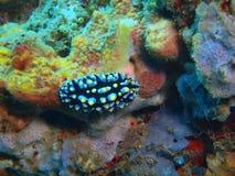 True sea slug Royalty Free Stock Photography