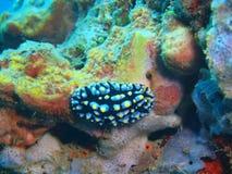 True sea slug Stock Photo