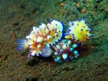 True sea slugs Stock Photos