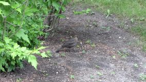 True thrush (Turdus) walk on ground under green leaves. Wild female bird with brown feathers in the forest, among grass and plants. Summer day, real nature stock video