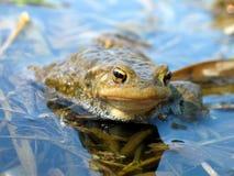 True toad. In Radbuza Swamps - Czech Republic Stock Photo