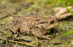 True toad  frog Royalty Free Stock Photo