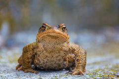 True toad sitting on the gray asphalt road Royalty Free Stock Image
