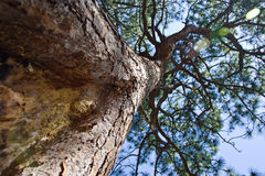 A true tree ent. Upward perspective of a large pine tree with sun spots or lens flares filtering through the branches Royalty Free Stock Photos