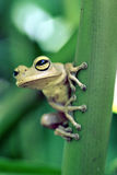 True tree frog, amphibian sighted in remaining Atlantic Rainfore Royalty Free Stock Photos