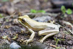 True tree frog, amphibian sighted in remaining Atlantic Rainfore Stock Photography