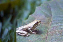 True tree frog, amphibian sighted in remaining Atlantic Rainfore Stock Photos