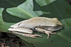 True tree frog on the green leaf Royalty Free Stock Photography