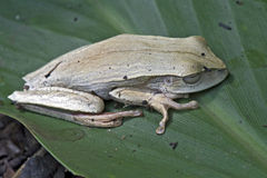 True tree frog on the green leaf Stock Image