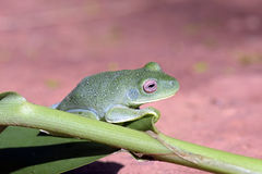 True tree frog on green leaf Ginger Royalty Free Stock Photos