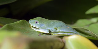 True tree frog on green leaf Ginger Stock Photography