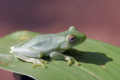 True tree frog sighted in the Atlantic Rainforest Royalty Free Stock Images