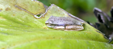 True tree frog sighted in remnant of Atlantic Rainforest Stock Images