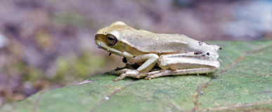 True tree frog sighted in remnant of Atlantic Rainforest Royalty Free Stock Photo