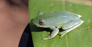 True tree frog sighted in remnant of Atlantic Rainforest Stock Photo