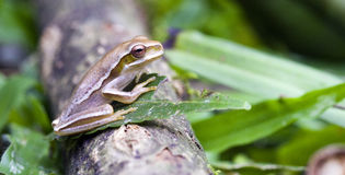 True tree frog sighted in remnant of Atlantic Rainforest Stock Image