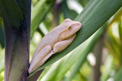 True tree frog sighted in remnant of Atlantic Rainforest Royalty Free Stock Photography