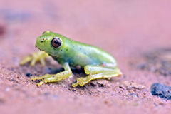 True tree frog sighted in remnant of Atlantic Rainforest Stock Photos