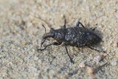 True weevil - Coniocleonus hollbergi Royalty Free Stock Photo