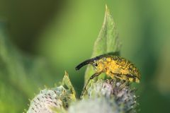 True weevil Royalty Free Stock Photography