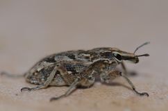 True weevil. stock photography