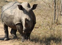 Close up of a rhino rhinoceros in the wilds of Africa. Truely spectacular Rhinoceros in Africa - safari travel is so exciting when you come across the stock images