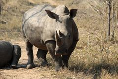 Close up of a rhino rhinoceros in the wilds of Africa. Truely spectacular Rhinoceros in Africa - safari travel is so exciting when you come across the royalty free stock image