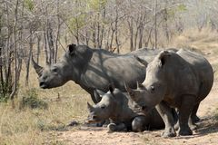 A rhino rhinoceros family group in the wilds of Africa. Truely spectacular Rhinoceros in Africa - safari travel is so exciting when you come across the royalty free stock photo