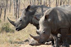 A rhino rhinoceros family group in the wilds of Africa. Truely spectacular Rhinoceros in Africa - safari travel is so exciting when you come across the stock image