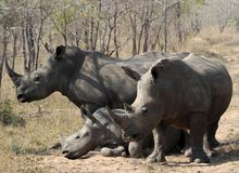 A rhino rhinoceros family group in the wilds of Africa. Truely spectacular Rhinoceros in Africa - safari travel is so exciting when you come across the stock photography
