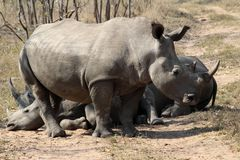 A rhino rhinoceros family group in the wilds of Africa. Truely spectacular Rhinoceros in Africa - safari travel is so exciting when you come across the royalty free stock images