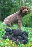 Trufas e cão Fotografia de Stock Royalty Free